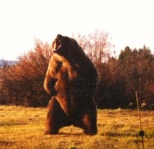 """Bart"" the movie grizzly bear from when I worked in films"