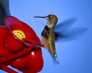 My morning friend, Fred or Fredia the Hummingbird